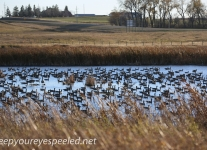 Boissevain Canada snow geese  (1 of 17)