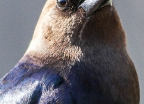 brown headed cowbird 5 (1 of 1).jpg