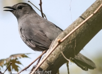 PPL Wetlands catbird (1 of 1).jpg