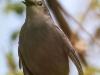 PPL Wetlands catbird 2 (1 of 1).jpg