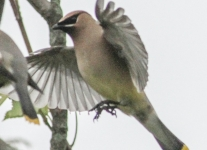 PPL wetlands cedar waxwing (1 of 1).jpg