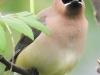 PPL wetlands cedar waxwing 15 (1 of 1).jpg