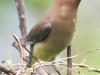 PPL wetlands cedar waxwing 5 (1 of 1).jpg
