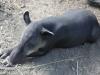 tapir (3 of 9).jpg
