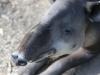 tapir (5 of 9).jpg