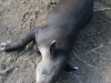 tapir (6 of 9).jpg