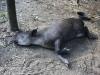 tapir (7 of 9).jpg