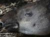 tapir (8 of 9).jpg