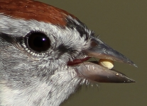 chipping sparrow (1 of 1).jpg