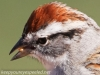 Chipping Sparrow 10 (1 of 1).jpg
