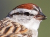 Chipping Sparrow 11 (1 of 1).jpg