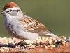Chipping Sparrow 12 (1 of 1).jpg