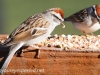 Chipping Sparrow 13 (1 of 1).jpg