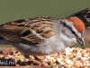 Chipping Sparrow 14 (1 of 1).jpg