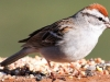 Chipping Sparrow 15 (1 of 1).jpg