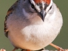 Chipping Sparrow 4 (1 of 1).jpg