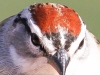 Chipping Sparrow 5 (1 of 1).jpg