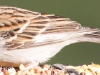 Chipping Sparrow 6 (1 of 1).jpg