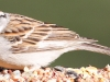 Chipping Sparrow 7 (1 of 1).jpg