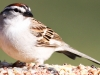 Chipping Sparrow 8 (1 of 1).jpg