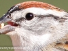 Chipping Sparrow 9 (1 of 1).jpg