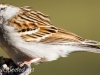 chipping sparrow 2 (1 of 1).jpg