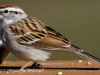 chipping sparrow 3 (1 of 1).jpg