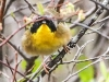 State game lands 119 common yellow throat -1