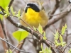 State game lands 119 common yellow throat -2