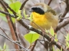 State game lands 119 common yellow throat -3