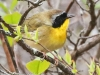 State game lands 119 common yellow throat -5