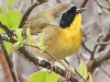 State game lands 119 common yellow throat -6