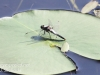 Community Park dragon flies -016