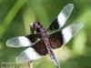 Community Park dragon flies -018