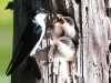 Community Park tree swallow -078