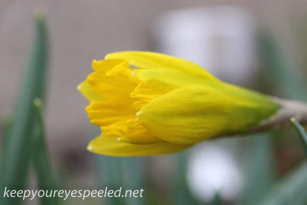 Crocus and daffodil (12 of 21).jpg