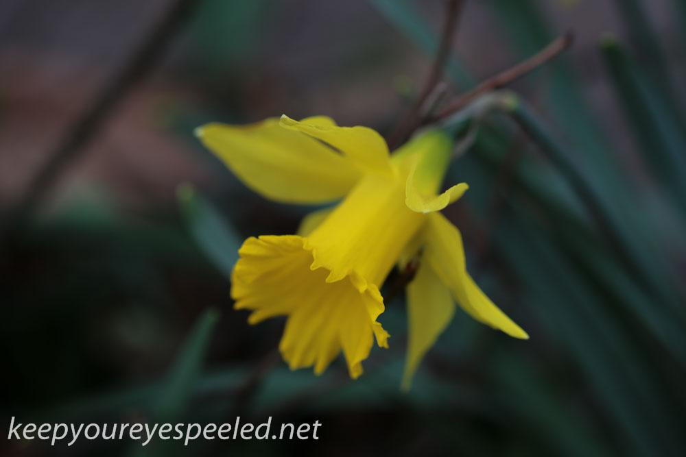 Crocus and daffodil (14 of 21).jpg