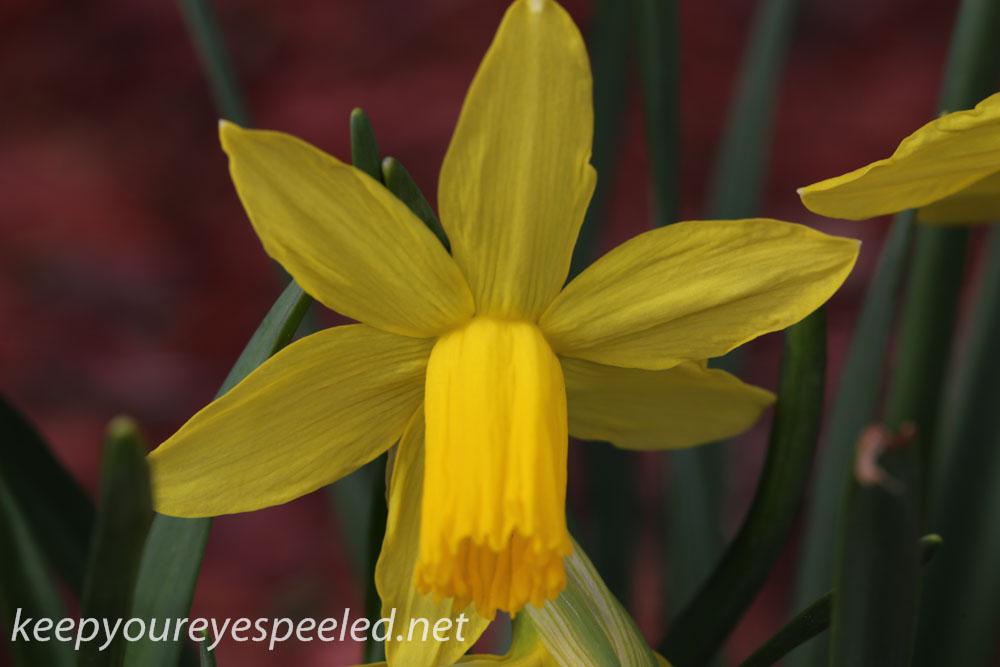 Crocus and daffodil (17 of 21).jpg
