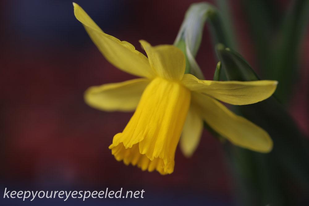 Crocus and daffodil (18 of 21).jpg