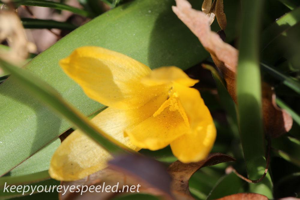 Crocus and daffodil (21 of 21).jpg