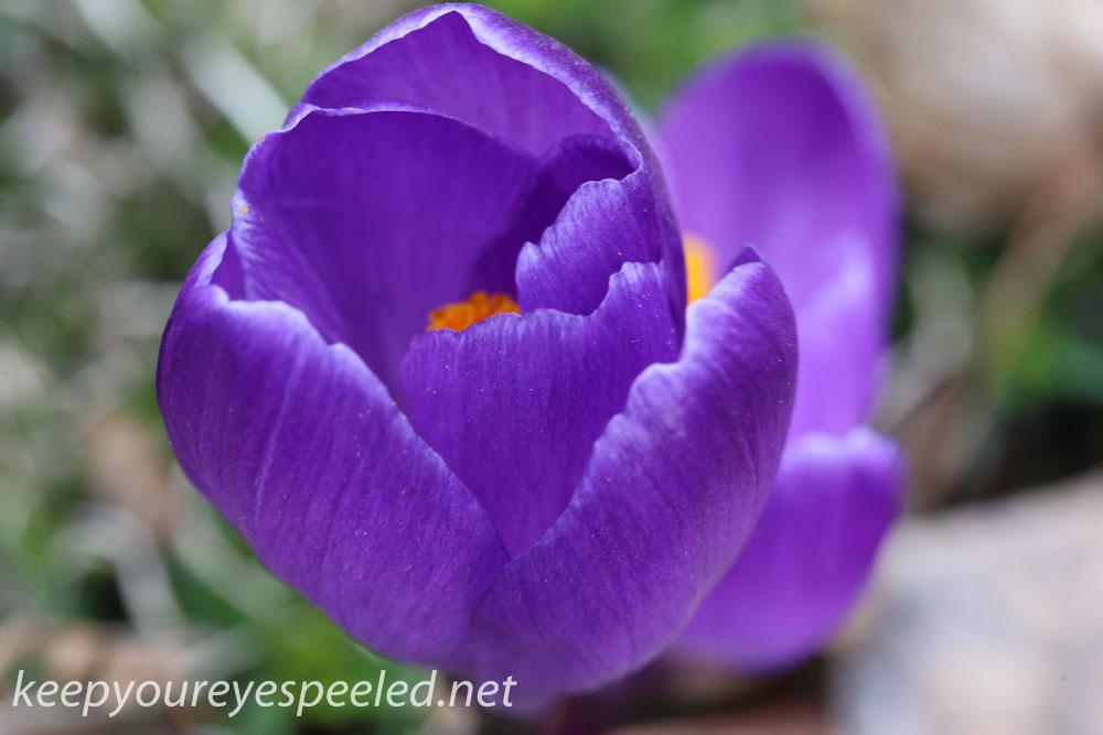 Crocus and daffodil (7 of 21).jpg