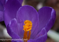 Crocus and daffodil (5 of 21).jpg