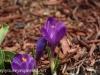 Crocus and daffodil (11 of 21).jpg