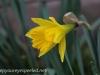 Crocus and daffodil (13 of 21).jpg