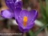 Crocus and daffodil (4 of 21).jpg