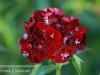 Dallas Texas Arboretum flowers-15