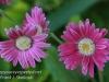 Dallas Texas Arboretum flowers-9