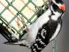 Downy woodpecker  (1 of 1).jpg
