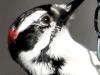 Downy woodpecker 2 (1 of 1).jpg
