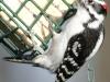 Downy woodpecker 4 (1 of 1).jpg
